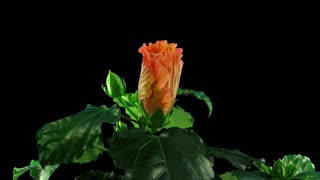 Time-lapse of opening orange hibiscus (Chinese Rose) flower 5x4 in RGB + ALPHA matte format isolated on black background