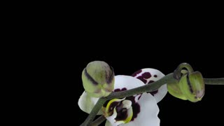 Time-lapse of opening Phalaenopsis spotted Imgur orchid 3x3 in RGB + ALPHA matte format isolated on black background