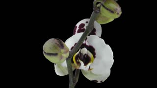 Time-lapse of opening Phalaenopsis spotted Imgur orchid 4b1 in PNG+ format with ALPHA transparency channel isolated on black background