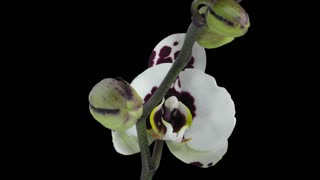 Time-lapse of opening Phalaenopsis spotted Imgur orchid 4b3 in RGB + ALPHA matte format isolated on black background