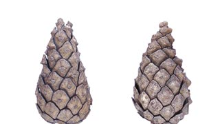 Time-lapse of opening pine cone 1c1 in PNG+ format with ALPHA transparency channel isolated on white background
