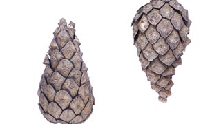 Time-lapse of opening pine cone 1d1 in PNG+ format with ALPHA transparency channel isolated on white background