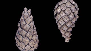 Time-lapse of opening pine cone 1d3b in RGB + ALPHA matte format isolated on black background