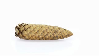 Time-lapse of opening pine cone 7x3 in 4K format on white background