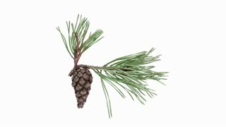 Time-lapse of opening pine cone 8x3 in RGB + ALPHA matte format isolated on white background