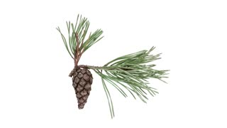 Time-lapse of opening pine cone 8x4 in 4K PNG+ format with ALPHA transparency channel isolated on white background