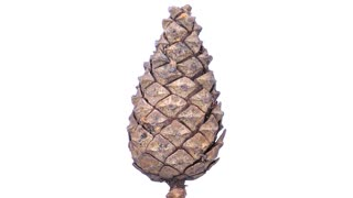 Time-lapse of opening pine cone with ALPHA 2x1 in PNG+ format with ALPHA transparency channel isolated on white background