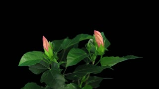 Time-lapse of opening pink chinese rose (Hibiscus) 2b3 in RGB + ALPHA matte format isolated on black background