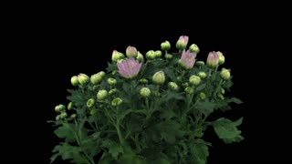 Time-lapse of opening pink chrysanthemum flower buds 1x1 in PNG+ format with ALPHA transparency channel isolated on black background