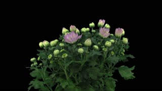 Time-lapse of opening pink chrysanthemum flower buds 1x3 in RGB + ALPHA matte format isolated on black background