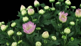 Time-lapse of opening pink chrysanthemum flower buds 3x3 in RGB + ALPHA matte format isolated on black background