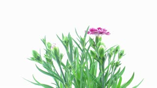Time-lapse of opening pink (Dianthus) flowers 6a1 on white background