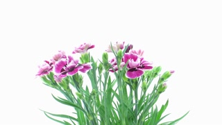 Time-lapse of opening pink (Dianthus) flowers 6x2 on white background, 4K