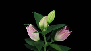 Time-lapse of opening pink lily flower 5a3 in RGB + ALPHA matte format isolated on black background