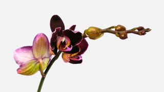 Time-lapse of opening purple Phalaenopsis orchid 1d1 in PNG+ format with ALPHA transparency channel isolated on black background