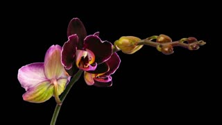 Time-lapse of opening purple Phalaenopsis orchid 1d7 in RGB + ALPHA matte format isolated on black background