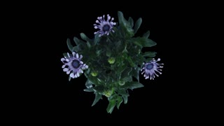 Time-lapse of opening Rain Daisy (Dimorphotheca pluvialis) flowers 2x3 in RGB + ALPHA matte format isolated on black backgrount, top view