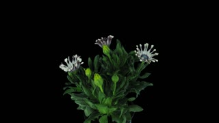 Time-lapse of opening Rain Daisy (Dimorphotheca pluvialis) flowers 3x4 in 4K PNG+ format with ALPHA transparency channel isolated on black backgrount