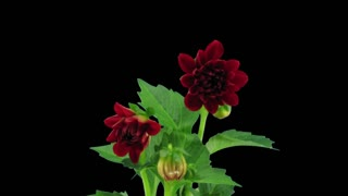 Time-lapse of opening red dahlia flower 1b3 in RGB + ALPHA matte format isolated on black background
