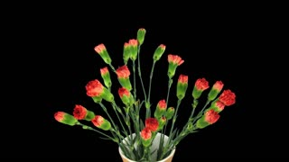 Time-lapse of opening red Dianthus flower 2x7 in 4K PNG+ format with ALPHA transparency channel isolated on black background