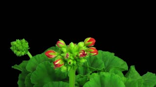Time-lapse of opening red geranium (Pelargonia) flower 1a3 in RGB + ALPHA matte format isolated on black background