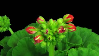 Time-lapse of opening red geranium (Pelargonia) flower 1b3 in RGB + ALPHA matte format isolated on black background