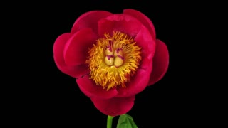 Time-lapse of opening red peony (Paeonia) flower 2a3 in RGB + ALPHA matte format isolated on black background, front view