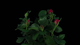 Time-lapse of opening red roses bouquet 1b3 in RGB + ALPHA matte format isolated on black background