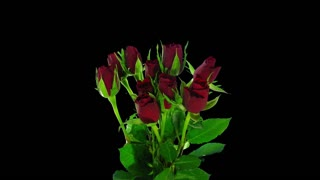 Time-lapse of opening red roses bouquet 3a3 in RGB + ALPHA matte format isolated on black background