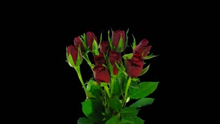 Time-lapse of opening red roses bouquet 3x4 in 4K PNG+ format with ALPHA transparency channel isolated on black background