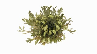 Time-lapse of opening Rose of Jericho (Resurrection Plant or false Anastatica hierochuntica) 2x2 on white backgroundin, 4K format. Put dried Rose of Jericho plant into the water and it opens.
