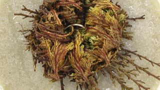 Time-lapse of opening Rose of Jericho (Resurrection Plant) with hidden wedding ring inside 6a1 top view. In some countries there is tradition to put the wedding ring inside the Rose as a gift