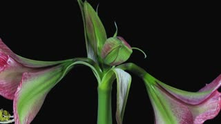 Time-lapse of opening Tosca Cherry Red / Creamy Edge amaryllis Christmas flower 1d3 in RGB + ALPHA matte format isolated on black background