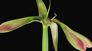 Time-lapse of opening Tosca Cherry Red / Creamy Edge amaryllis Christmas flower 2b3 in RGB + ALPHA matte format isolated on black background