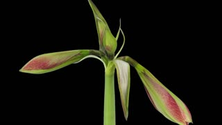 Time-lapse of opening Tosca Cherry Red - Creamy Edge amaryllis Christmas flower 3b1 in PNG+ format with ALPHA transparency channel isolated on black background