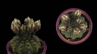 Time-lapse of opening white cactus buds 6d1 in PNG+ format with ALPHA transparency channel isolated on black background, shot with 2 synchronized cameras