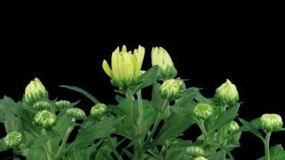 Time lapse of opening multicolor chrysanthemum flower buds 4x3 in time lapse of opening white chrysanthemum flower buds 5x3 in rgb alpha matte format mightylinksfo