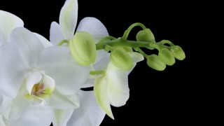 Time-lapse of opening white orchid 11a1 in PNG+ format with ALPHA transparency channel isolated on black background