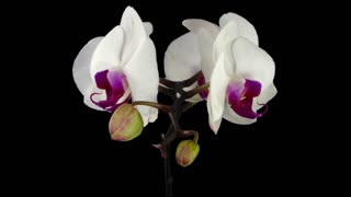 Time-lapse of opening white orchid 7x3 in RGB + ALPHA matte format isolated on black background