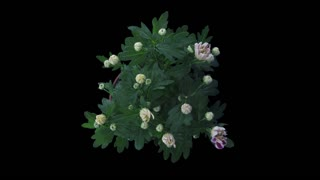 Time-lapse of opening white-pink chrysanthemum flower buds 1x3 in RGB + ALPHA matte format isolated on black background