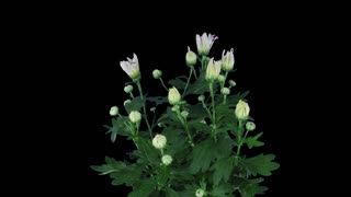 Time-lapse of opening white-pink chrysanthemum flower buds 3x3 in RGB + ALPHA matte format isolated on black background