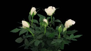 Time-lapse of opening white roses in a vase 3x1 in PNG+ format with ALPHA transparency channel isolated on black background