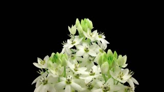 Time-lapse of opening White Star-of-Bethlehem flower (Ornithogalum Narbonense or SnowFlake) 8x3 in RGB + ALPHA matte format isolated on black background