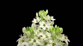 Time-lapse of opening White Star-of-Bethlehem flower (Ornithogalum Narbonense or SnowFlake) 8x43 in 4K PNG+ format with ALPHA transparency channel, isolated on black background