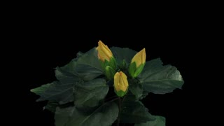 Time-lapse of opening yellow chinese rose (Hibiscus) flower 3a3 in RGB + ALPHA matte format isolated on black background