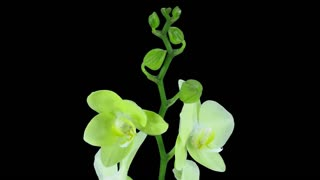 Time-lapse of opening yellow orchid 1b1 in PNG+ format with ALPHA transparency channel isolated on black background