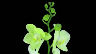 Time-lapse of opening yellow orchid 1b3 in RGB + ALPHA matte format isolated on black background