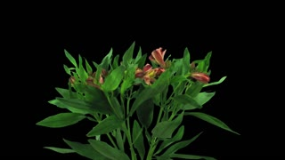Time-lapse of opening yellow-red Peruvian Lily (Alstroemeria Casablanca) 1b3 in RGB + ALPHA matte format isolated on black background