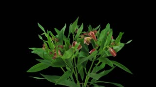 Time-lapse of opening yellow-red Peruvian Lily (Alstroemeria Casablanca) 3a4 in 4K PNG+ format with ALPHA transparency channel isolated on black background