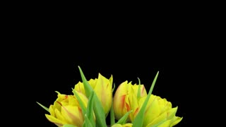 Time-lapse of opening yellow-red tulips in a vase 1x1 in PNG+ format with ALPHA transparency channel isolated on black background